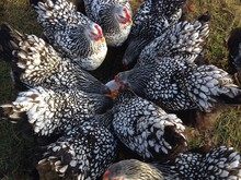 Cochin Chickens Eating From A ...