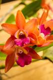 Pomarańczowe orchidee