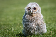 A Young Tawny Owl Chick 10 Day...