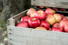Crate Full Of Apples In Autumn, Quebec Orchard.