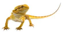 Bearded Dragon - Pogona Vittic...