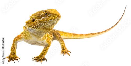 Photo Bearded dragon - Pogona vitticeps on a white background