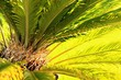 canvas print picture - mini palme I