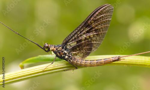 Photo Close-up of a mayfly