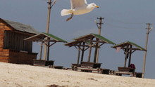 Seagull Landing On The Beach, Then Soars Into The Sky.
