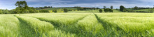 Panorama Of A Wheat Field In S...