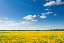 Field Of Yellow Dandelions Against The Blue Sky.