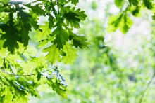 Green Oak Leaves In Summer Rainy Day