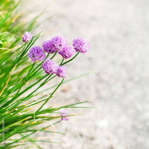szczypiorek-rozowy-kwiaty-z-bliska-na-skraju-sciezki