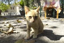 Cat From Greece, Lesvos