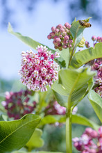 Asclepias Syriaca Flower, Also...