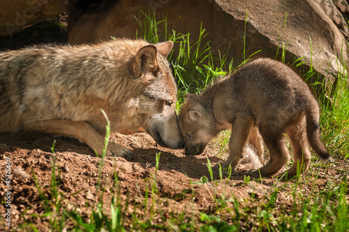 Photo Grey Wolf (Canis lupus) Mother and Pup Touch Outside Den