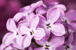 Macro image of spring lilac violet flowers