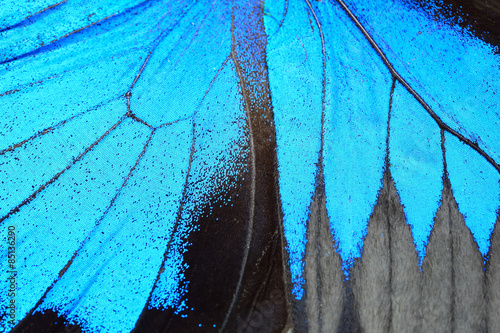 Blue butterfly wing