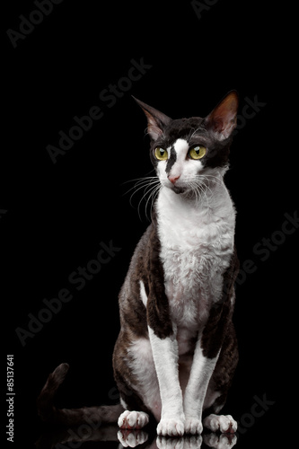 Photo Cornish Rex Sits and Looking in Camera Isolated