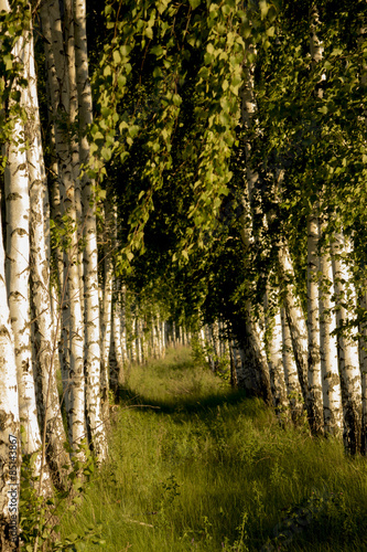 Birch Alley, made by human hands.