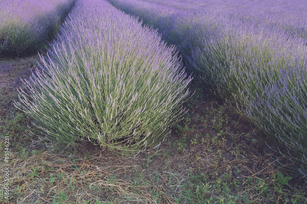 Fotografija  Lavender field. Rows of lavender at sunset
