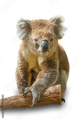 Staande foto Koala Koala on branch