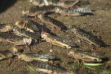 Desert Locust (Schistocerca Gr...