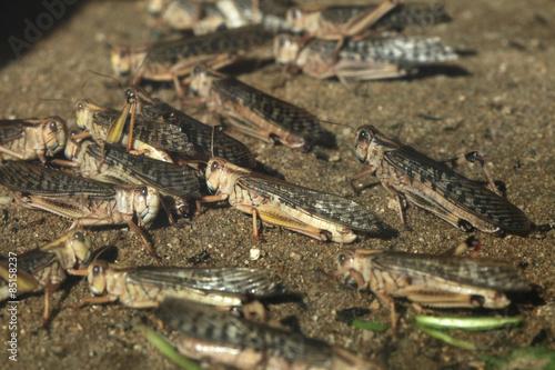 Cuadros en Lienzo Desert locust (Schistocerca gregaria).