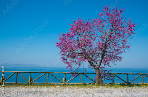 Judas Tree (Circus siliquastrium), Dilek National Park near Kusadasi, Turkey Fototapet