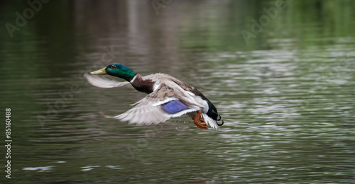 Fotografie, Obraz  Runway Approach - A male mallard comes in to land near a flock of females