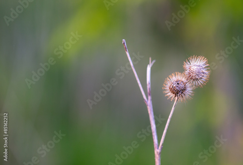 Two dry burrs - Buy this stock photo and explore similar images at