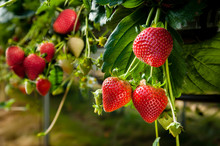 Ripe Strawberries.