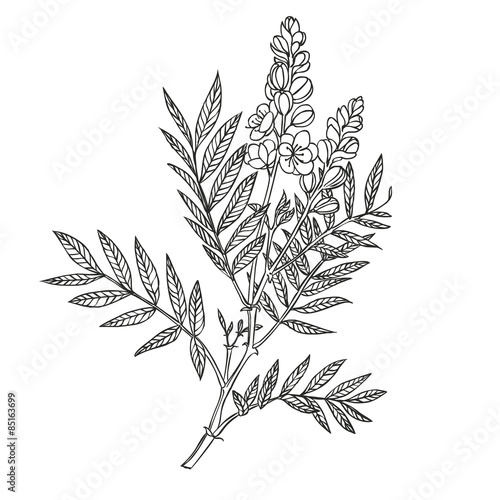 Fotografia  senna plant - linear vector drawing on a white background