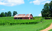 Vineyards Of North Georgia, USA.