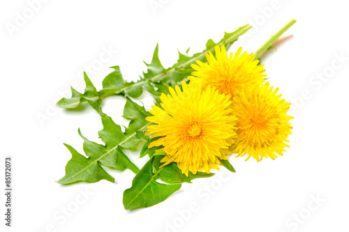 Dandelion Healing herbs. Dandelion isolated on white background