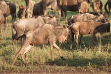 Wildebeest On The Run