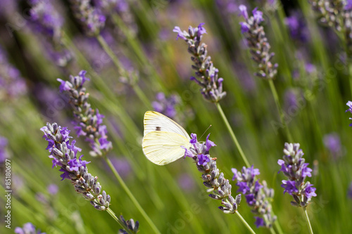 Fototapety, obrazy: Butterfly and Lavender
