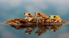 Three Frogs On A Log..