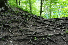 The Roots Of A Tree In The For...