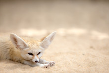 Sleepy Fennec Fox