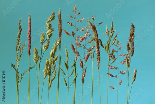 Poster Natuur verschillende bloeiende grassen op een blauwe achtergrond