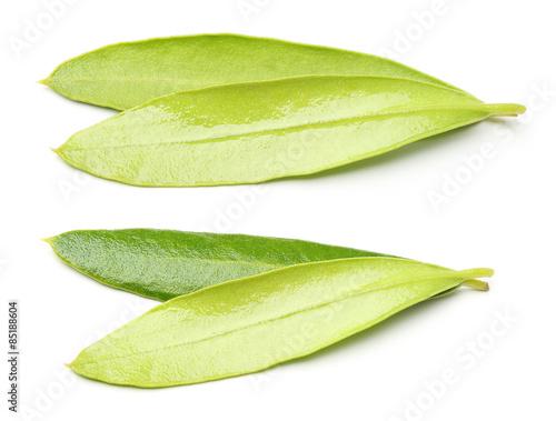 Fototapeta Leaves of the olive tree isolated obraz na płótnie