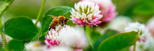 Foto op Aluminium Bee Honey Bee On Clover