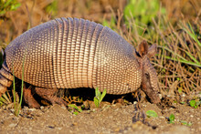 Nine-banded Armadillo Forages Beside A Road In Texas