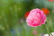 canvas print picture Pink Poppy
