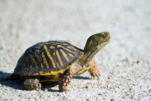 An Ornate Box Turtle Crosses A...