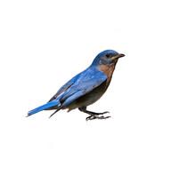 Female Eastern Bluebird With Prey On Green Background