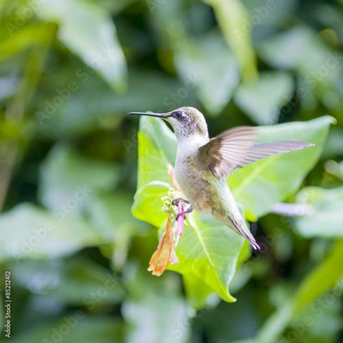 Photo  Hummingbird