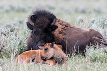 American Bison Mother And Calf In Yellowstone National Park