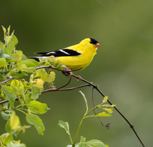 American Goldfinch On Green Ba...