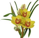 Bukiet żółtych orchidei na białym tle