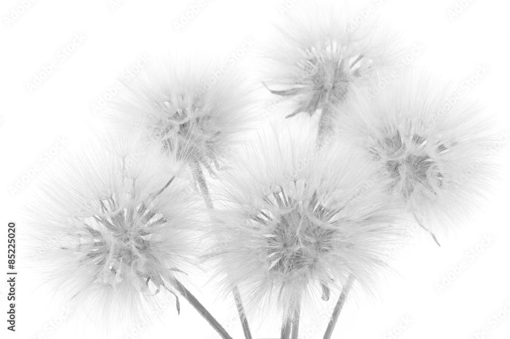 Fototapety, obrazy: Bouquet of dandelions