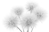 Bouquet of dandelions - 85225020