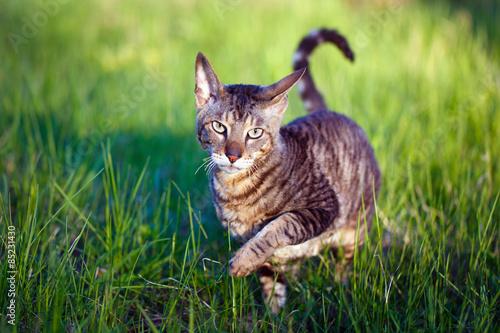 Leinwand Poster Cornish Rex cat